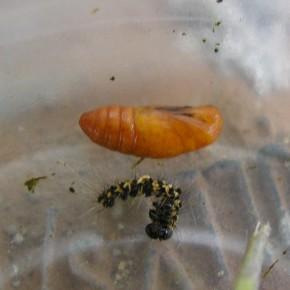 Une chrysalide toute fraîche de Tyria jacobaeae avec la dernière enveloppe larvaire.