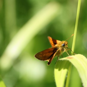 Un mâle d'Ochlodes sylvanus surveille une partenaire toute proche, en Massif d'Orléans.