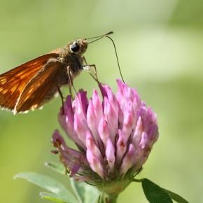 La femelle se fait belle, remue les ailes, relève son abdomen pour attirer le beau mâle, mais mange quand même.