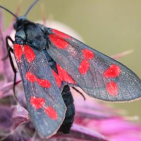 La présence d'une ceinture rouge sur l'abdomen est un caractère déterminant chez les Zygènes, elle est absente chez Zygaena filipendulae.