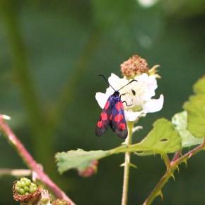 La Zygène du trèfle ne possède que cinq taches rouges sur l'aile antérieure, l'aile postérieure est rouge et bordée de noir.