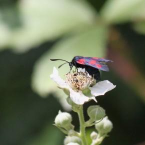 Zygaena trifolii n'a pas de ceinture abdominale rouge, ce qui est, entre autres un caractère distinctif de l'espèce.