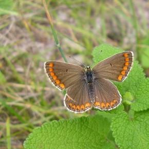 Le dessus des mâles et des femelles est identique. On note le point discoïdal noir sur le dessus de l'aile antérieure.