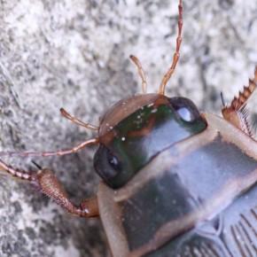 Les pattes antérieures de Dytiscus marginalis femelle sont fines, celles du mâle possèdent des tarses développés munis de ventouses.