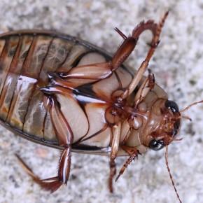 Les dessous de Dytiscus marginalis. Pour certaines espèces de Dytique, ils sont déterminants.