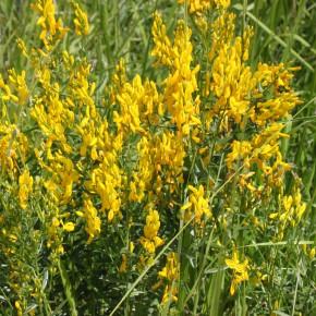 Le Genêt des teinturiers est un arbuste d'un mètre de haut dont le système racinaire est un rhizome ligneux.