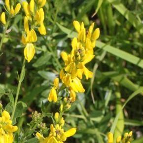 Les fleurs de Genista tinctoria sont groupées en haut des tiges et ne sont pas velues.