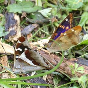 Apatura iris à gauche avec la bande blanche édentée. Avec un Apatura ilia f. clytie mâle. Notez la différence de couleur pour l'extrémité des antennes.