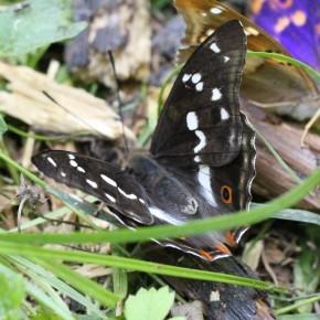 L'ocelle postdiscal n'apparaît pas sur le dessus de l'aile antérieure chez Apatura iris.