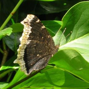 Nymphalis antiopa a bien voulu me montrer le dessous de ses ailes, ce papillon peut atteindre les dix centimètres d'envergure.