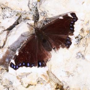 Un adulte venant de passer l'hiver se réchauffe sur un silex. La bordure marginale est devenue blanche. Souci pour lui maintenant : la reproduction de l'espèce.
