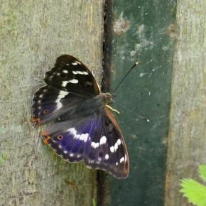 Un mâle Apatura ilia forme ilia, ocelle très visible sur l'aile antérieure et extrémité des antennes ocre.