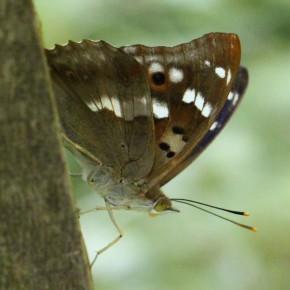 La bande blanche est absente ou ne comporte pas de dent au revers de l'aile postérieure chez le Petit Mars.