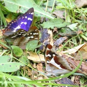 Les deux formes de Apatura ilia en compagnie de Apatura iris pour un festin dans une allée de la forêt d'Orléans.