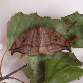 L' Incurvée doit son nom à la courbure de ses ailes, papillon de nuit bien difficile à rencontrer dans la journée.