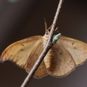 Les dessous de Drepana curvatula, moins colorés mais finement décorés de petites taches qui correspondent à celles de l'avers.