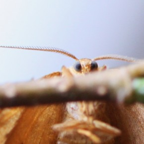 """Une vue rapprochée de l'Incurvée, ici les antennes d'une femelle. Celles du mâle sont largement """"plumeuses""""."""