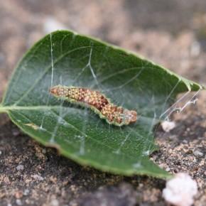 La chenille de Drepana curvatula trouvée sur une feuille de bouleau le huit juillet. Elle tend des fils de soie pour s'assurer une protection.