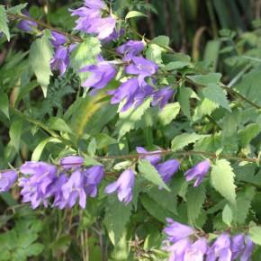 La Campanule gantelée pousse en petites colonies, pour fleurir un sous-bois, apporter une touche fleurie estivale.