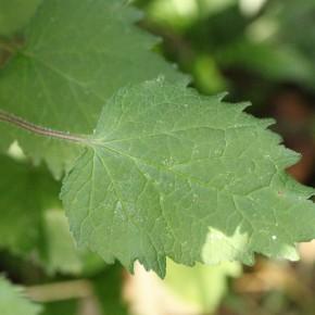 La feuille de Campanula trachelium ressemble à s'y méprendre à celle de l'ortie, ce qui lui vaut un de ses noms.