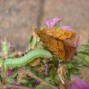 Le papillon né le 11 août, avec une chenille dont la croissance n'est pas terminée. Il y a deux générations de papillon dans l'année, entre mai et septembre.