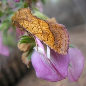 Un imago tout neuf, vu de profil sur une fleur de Bugrane rampante. Elevage de la chenille.