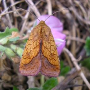 Pyrrhia umbra est un papillon de nuit aux ailes mordorées. Il ne dépasse pas les trois centimètres d'envergure.