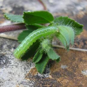 La chenille a grandi, et les lignes blanches apparaissent sur le corps. Plante nourricière : Bugrane rampante.