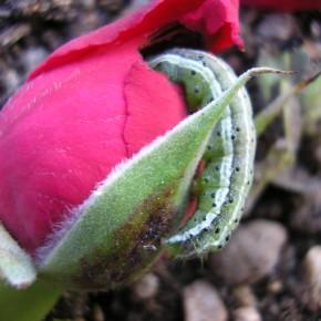 """Voici une autre chenille de Pyrrhia umbra, elle se régale d'un bouton de rose. Ce n'est pas pour rien qu'on la surnomme """"Le pique-bouton du rosier""""."""
