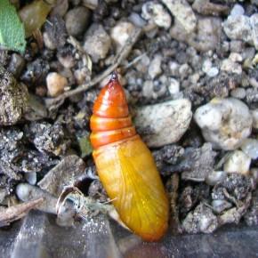 Une chrysalide toute fraîche de Pyrrhia umbra le 19 juillet 2010.