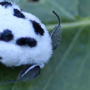 Les antennes caractéristiques du mâle, bipectinées à la base et sétiformes après.