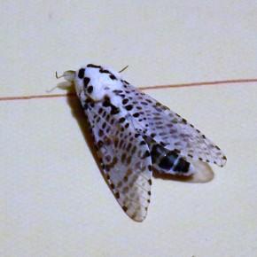 L'abdomen est blanc taché de noir, celui de la femelle est plus long et possède un oviscapte.