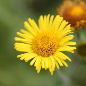 La fleur est un capitule ne dépassant pas trois centimètres, ce qui la différencie de Inula britannica.