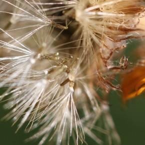 Fruits de 1,5 millimètre environ,à 14-20 soies blanches entourées d'une corolle membraneuse.
