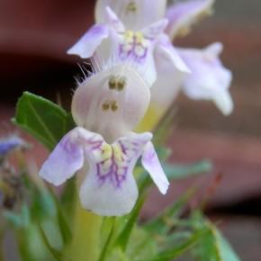 Les fleurs sont rouges, roses, jaunâtres ou blanches. La lèvre inférieure est trilobée, marbrée de jaune et de pourpre.