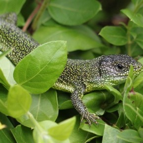 Lacerta bilineata, le Lézard vert occidental, le Lézard à deux bandes.