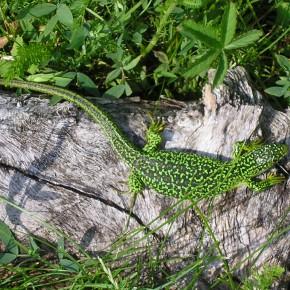 Une femelle au soleil, près du bassin. Le Lézard vert a besoin d'eau, il s'abreuve souvent avec les gouttes de rosée. Le 23 mai 2008.