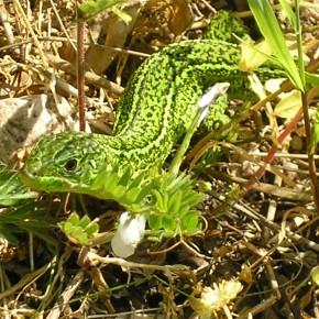 Une femelle, avec ses bandes dorsales, à la chasse le 21 mai 2010. Araignées, insectes, petits mollusques et même petits rongeurs peuvent être au menu.