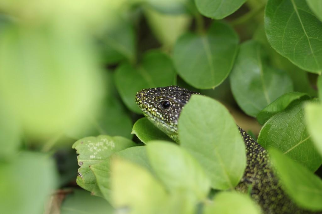 comment chasser les lezards vert