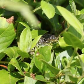 La même femelle de Lacerta bilineata deux heures après, il faut être patient pour manger.