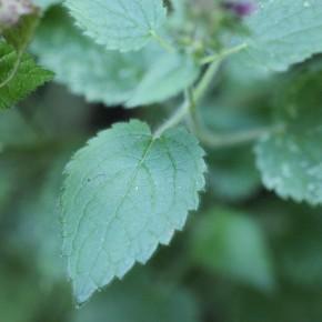 Les feuilles de l'Ortie puante ne piquent pas. Elles sont comestibles avec un goût particulier rappelant celui des champignons.