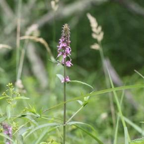 Stachys palustris est une plante inféodée aux milieux humides atteignant plus d'un mètre de haut.