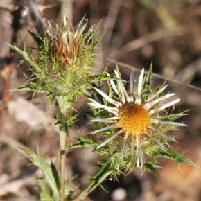Chez Carlina vulgaris, les bractées extérieures sont vertes, épineuses et cotoneuses, les bractées intérieures jaune paille.