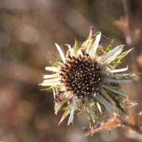 Les capitules de la Carline commune, de 3 centimètres environ, sont composés de fleurs tubulaires brun jaune-violacé.