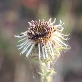 Les capitules de Carlina vulgaris, débarrassés de leurs épines, peuvent être consommés comme ceux de l'artichaut. Beaucoup de travail avant la dégustation.