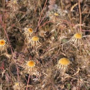 La Carline commune passe l'hiver fanée avec un aspect de fleur séchée. Les capitules s'ouvrent et se ferment selon l'humidité, jouant le rôle de baromètre.
