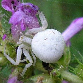Misumena vatia (Clerck, 1757) – La Thomise variable
