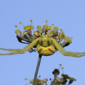 Vu du bas, les bandes rouges ne sont pas discrètes, mais les insectes viennent butiner sur le dessus des fleurs.