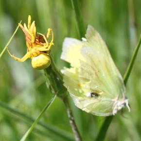 Le 2 juin 2013, Misumena vatia sur un (picris?) avec le cadavre d'un Citron (Gonepteryx rhamni). Massif de Lorris.