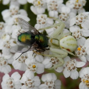 Dans mon jardin à Les Bordes, sur de l'Achillée millefeuille, une mouche verte sert de repas. Le 3 juillet 2013.